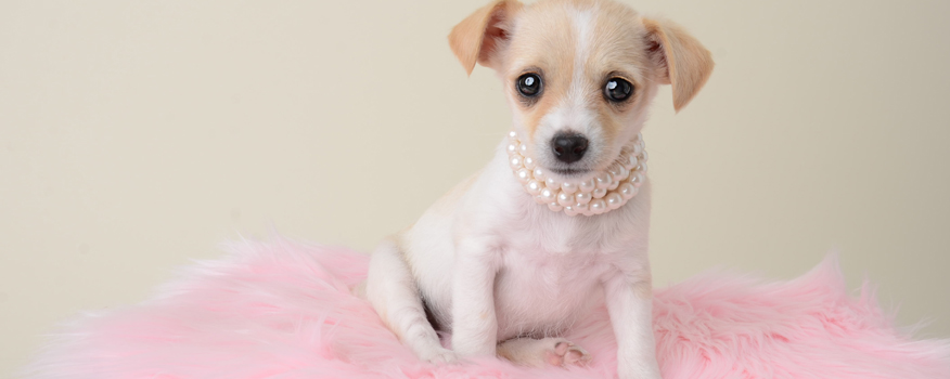 Chihuahua Puppies For Sale In West Palm And Boca Raton