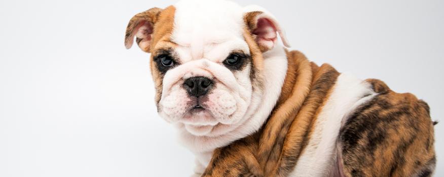 English Bulldog Puppies For Sale In West Palm Beach Boca Raton