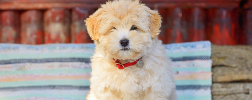 Havanese Puppies For Sale by Love My Puppy in Boca Raton