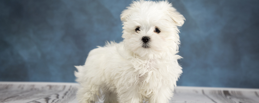 Maltese Puppies For Sale in West Palm Beach & Boca Raton