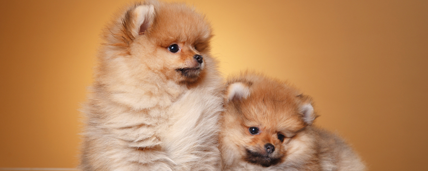 Pomeranian Puppies For Sale By Love My Puppy in Boca Raton