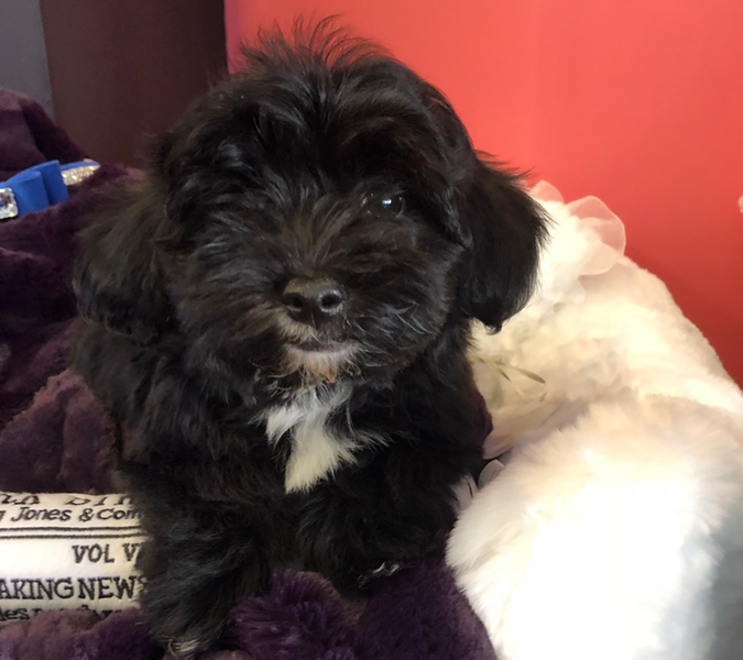 Camo Yorkie Poo Love My Puppy Boca Raton
