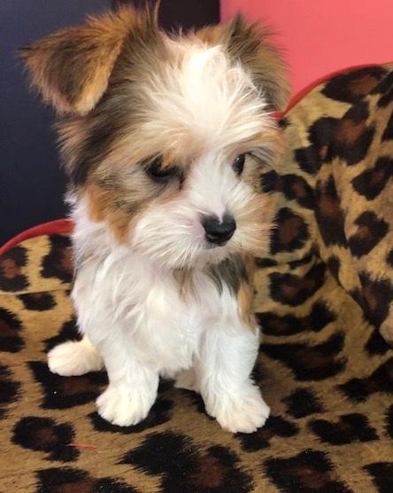 Faith Parti Yorkie Love My Puppy Boca Raton