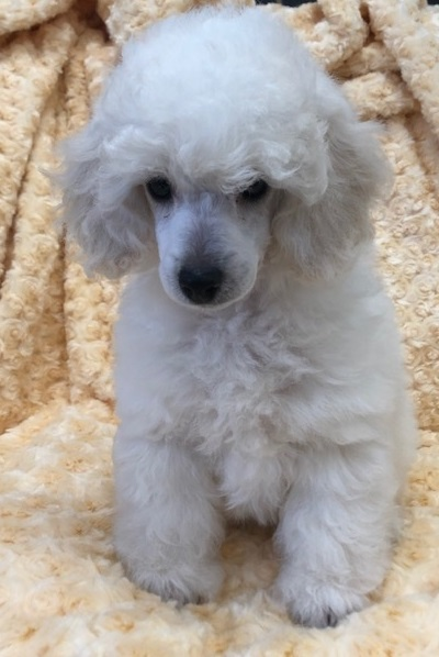 Angel Toy Poodle Love My Puppy Boca Raton