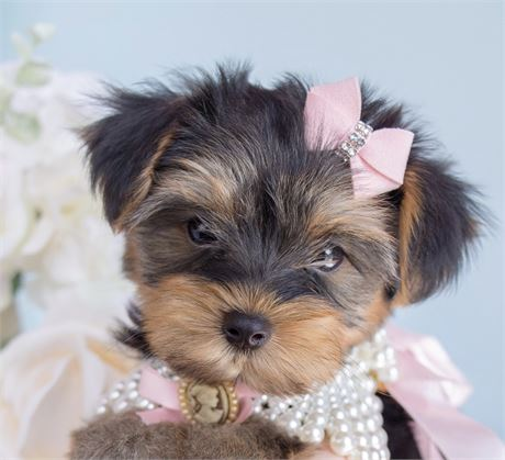 Bellatrix Yorkiepoo Love My Puppy Boca Raton