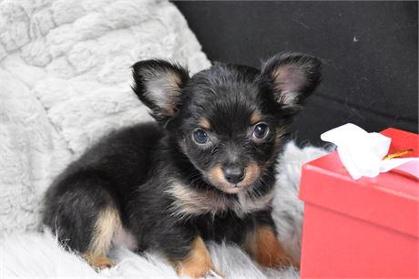 Carlos Teacup Chihuahua Love My Puppy Boca Raton