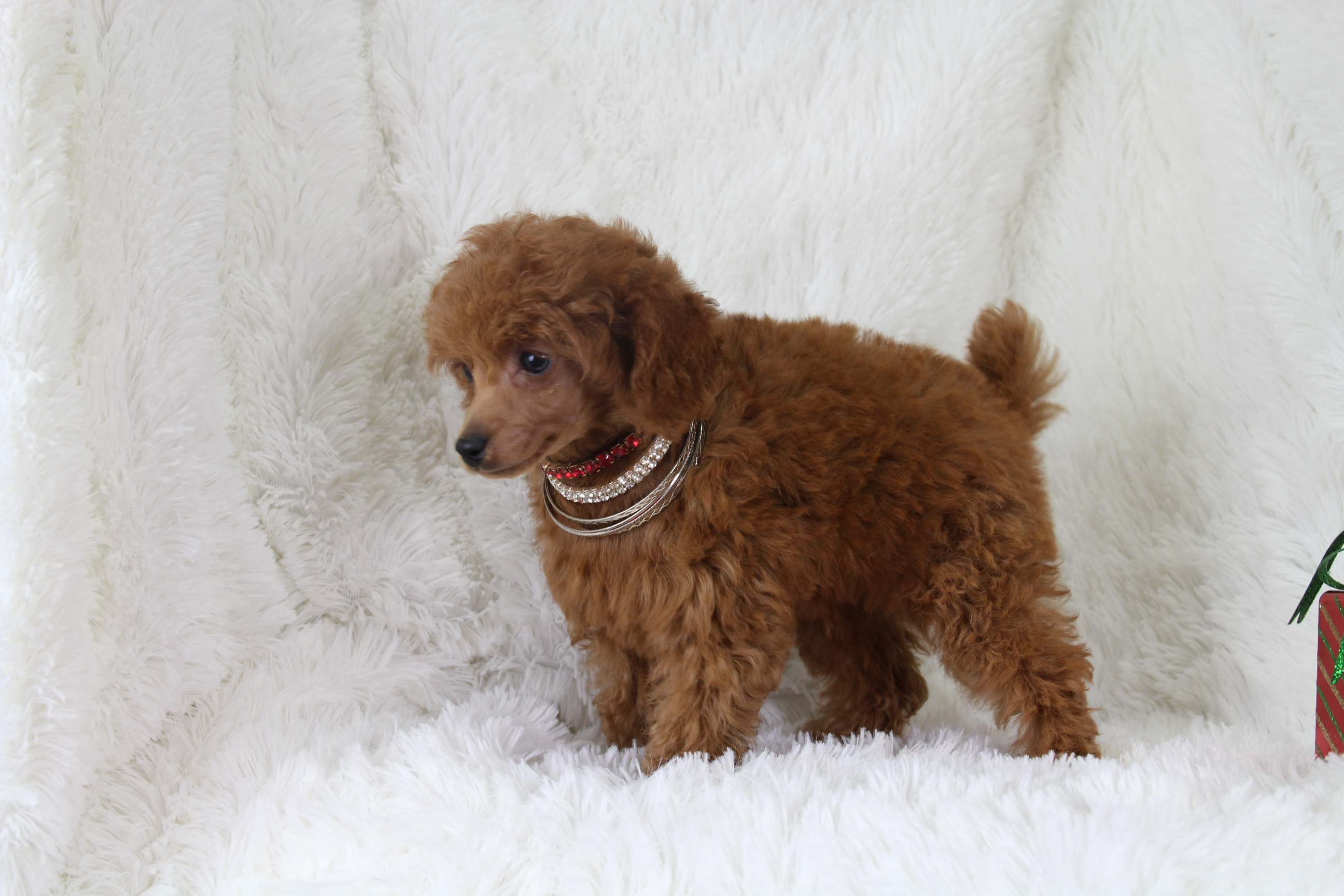 Amber Toy Poodle Love My Puppy Boca Raton