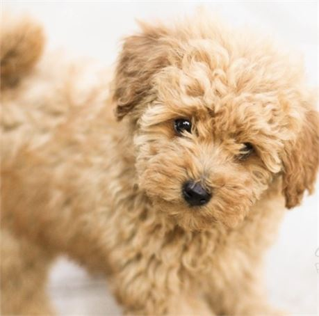 Espresso Teacup Maltipoo Love My