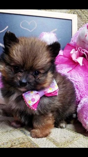 Sassy (Teacup Pomeranian)