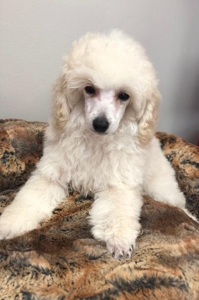 Victoria Toy Poodle