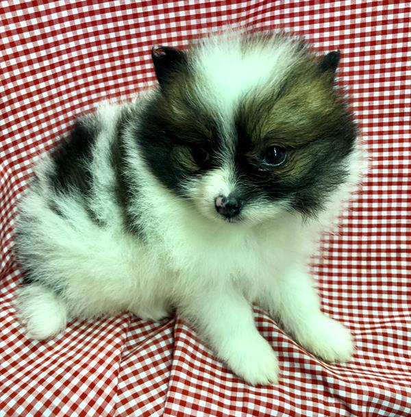 Wilbur (Teacup Pomeranian)