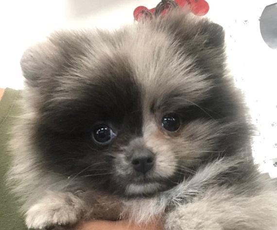 Wicked (Teacup Pomeranian)