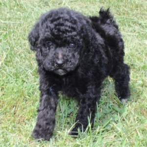 Puppies for Sale Boca Raton | Love My Puppy From Our Home To Yours