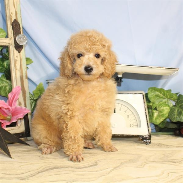 Judd Toy Poodle