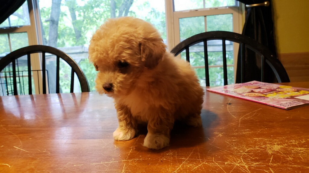 Monroe Micro Teacup Poodle Love My Puppy Boca Raton